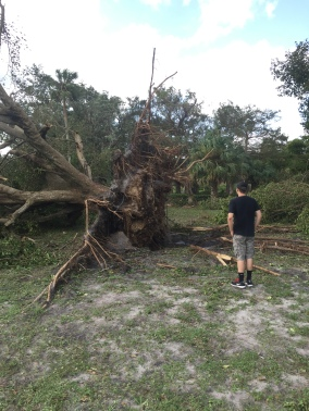Hurricane Irma fallen tree