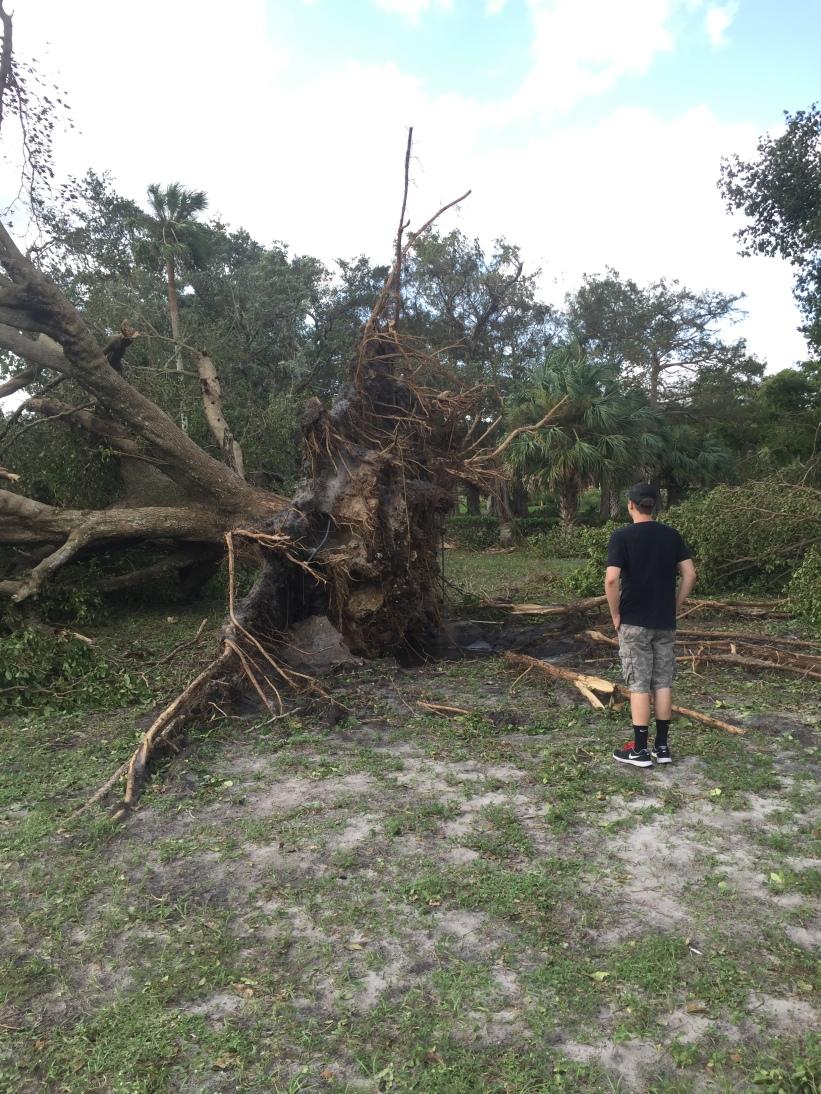 Hurricane Irma fallen tree